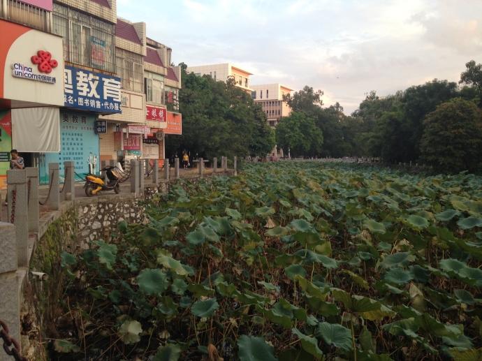 Lotus pond behind the supermarket