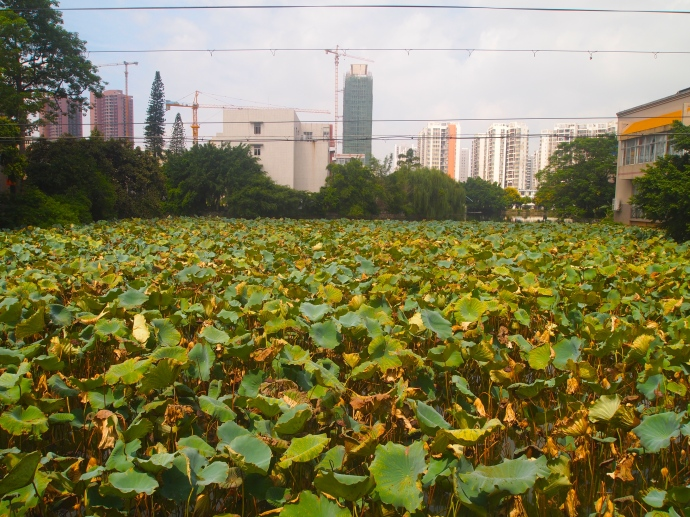 The lotus pond behind my house, from a different location