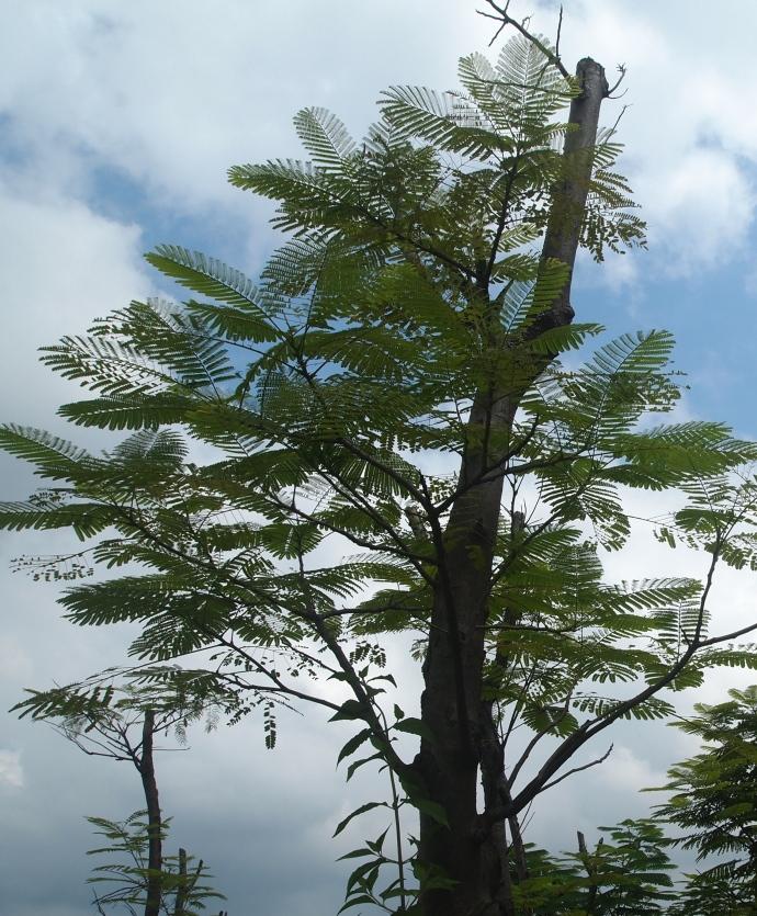 feathery tree