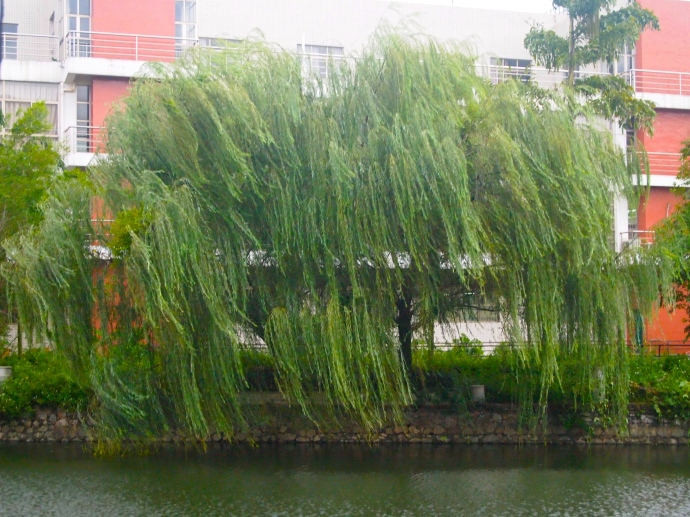 dancing weeping willow