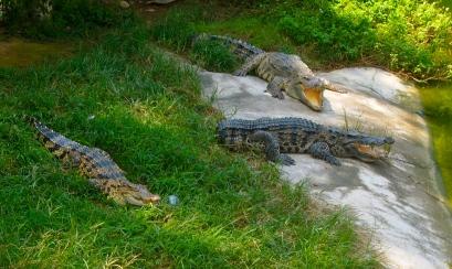 Crocodile snoozing