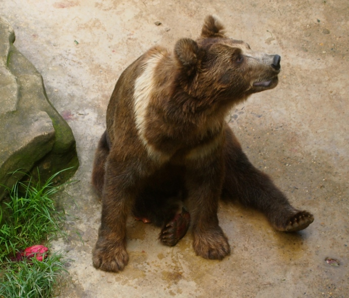 Frustrated bear