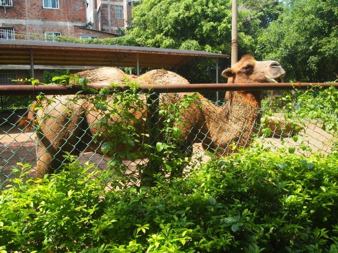 harassed camel