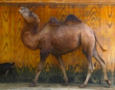 stride-by camel
