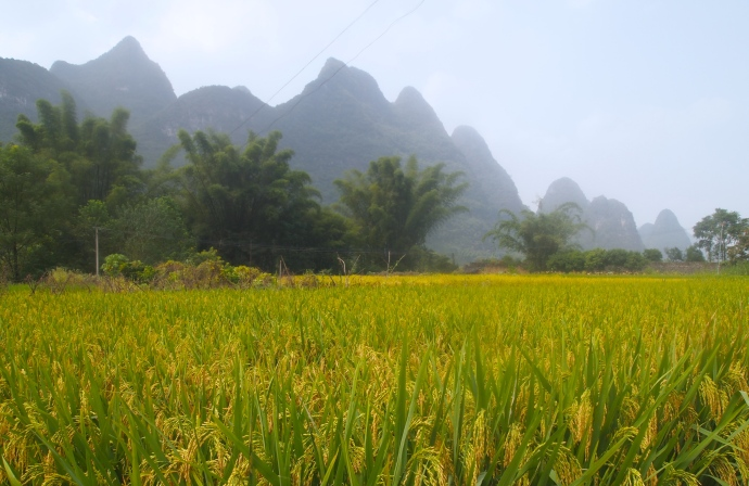 Rice fields outside of Yangshuo