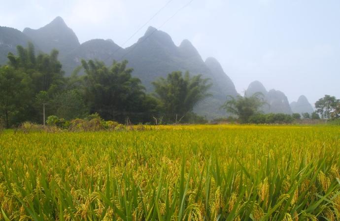 Rice fields outside of Yangshuo