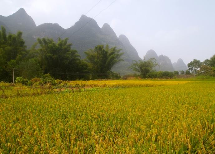 yellow grains of rice