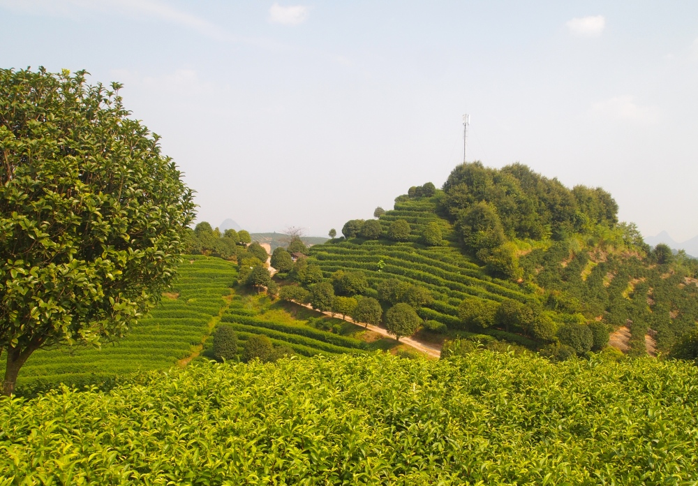the seven star tea plantation and return to yangshuo (4/6)