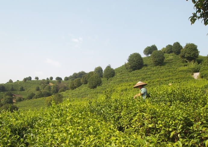 Tea pickers in conical hats at the tea plantation