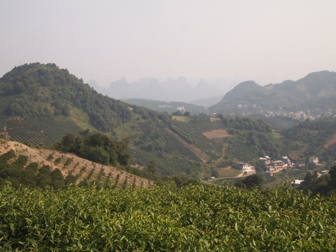 Seven Star Tea Plantation with karst landscape in the distance