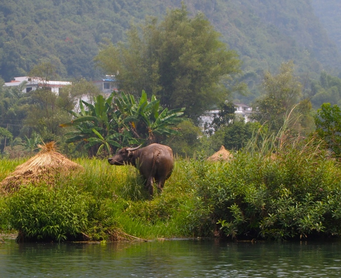 water buffalo on the shore