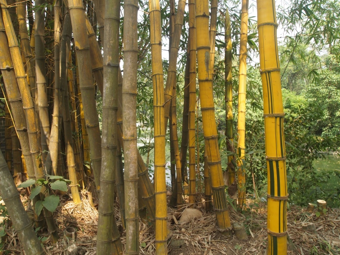 striped bamboo
