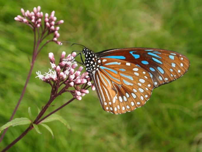 blue spotted butterfly