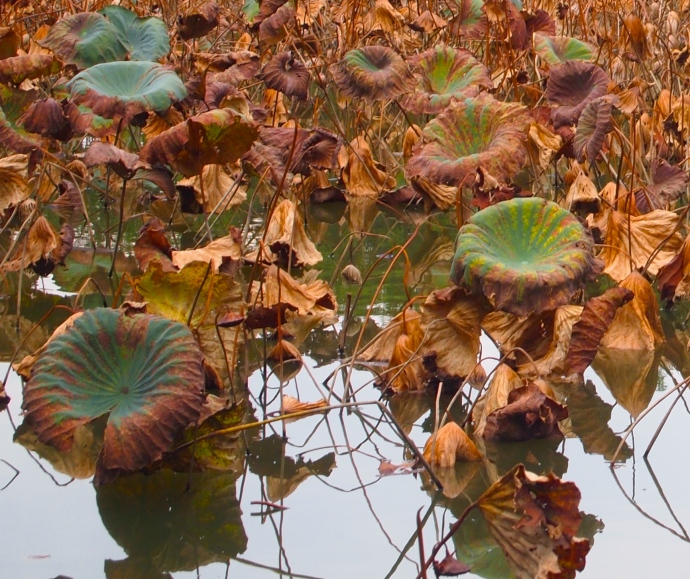 the browning of the lotus pond