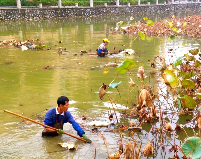 cleaning up the lotus ponds