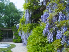 Wisteria at Dumbarton Oaks