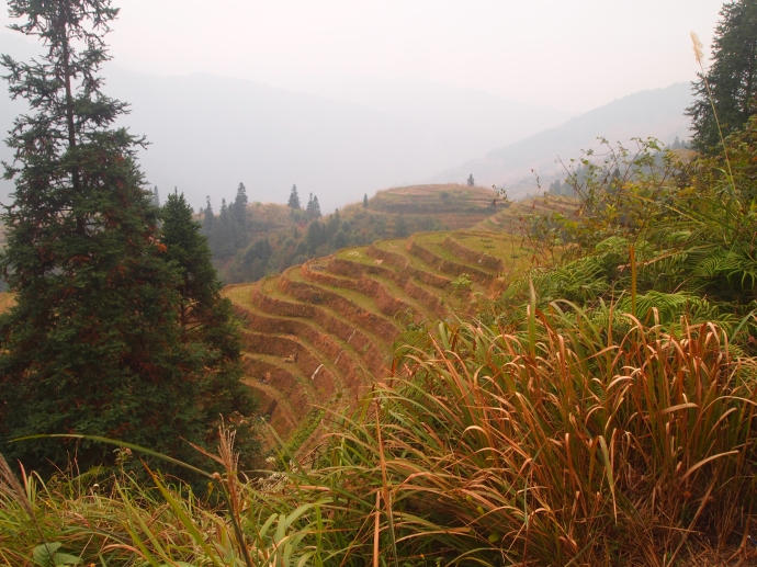 ornamental grasses and rice terraces