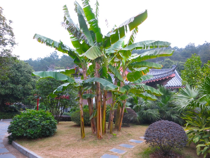 Banana plants on the grounds of the Guilinyi Palace Hotel