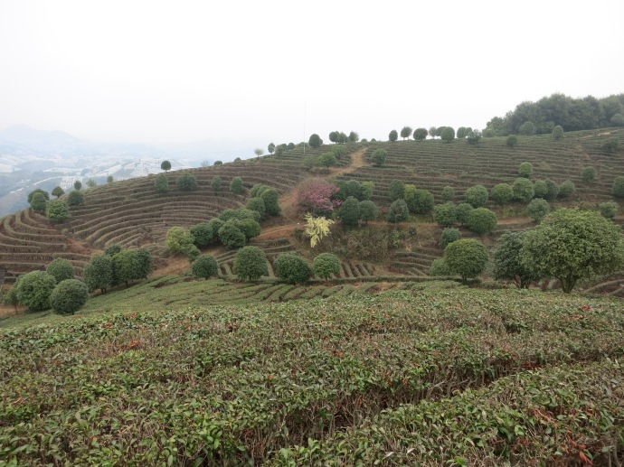 Seven Star Tea Plantation (Photo by Mike)