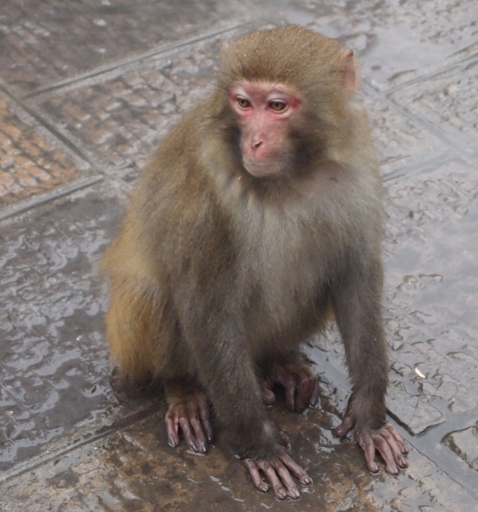 one of the many monkeys in Zhangjiajie