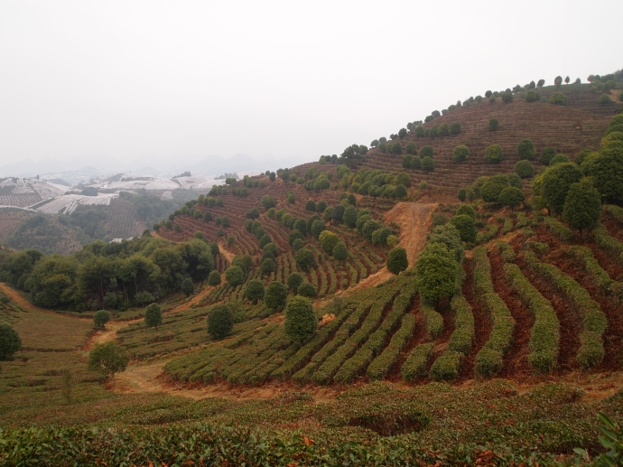 Seven Star Tea Plantation