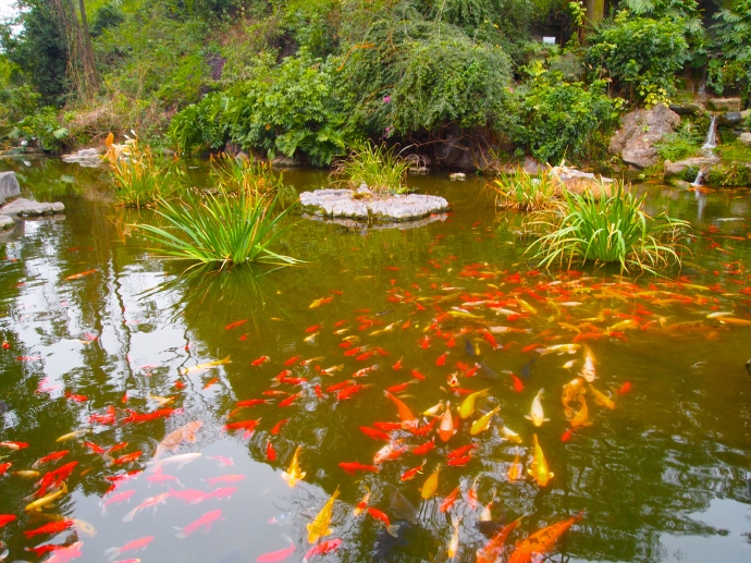 koi pond in the botanical garden