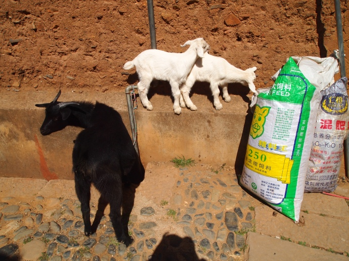 little goats join us for lunch