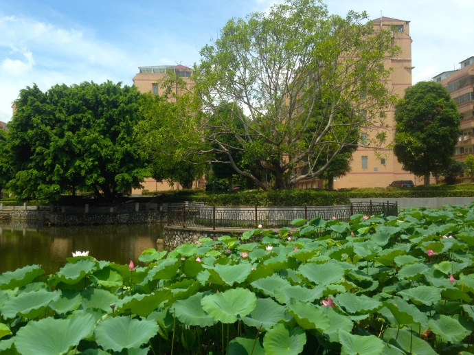 a particularly pretty lotus pond on campus