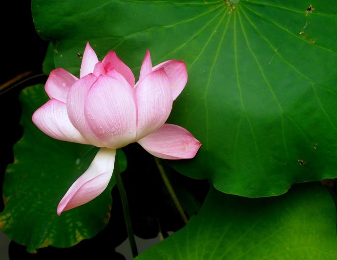 lush lotus