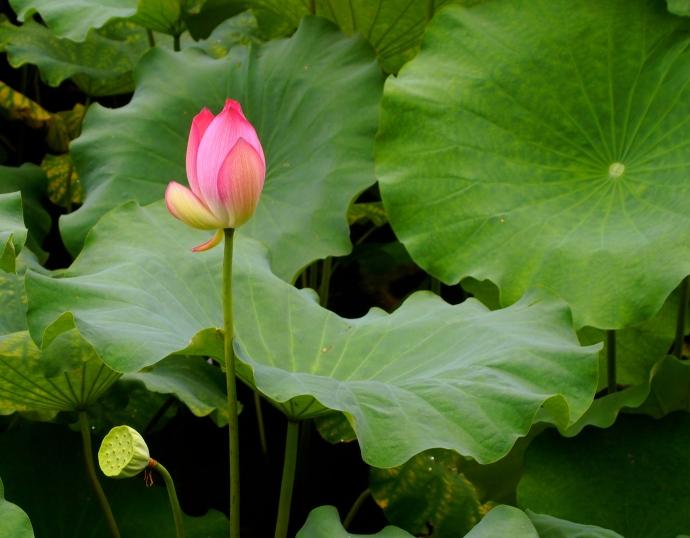 perky lotus