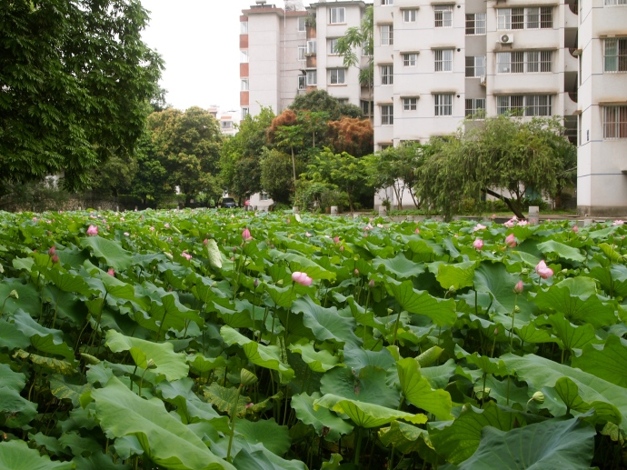 lotus pond on the university campus