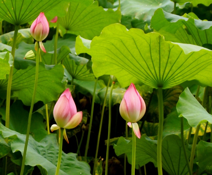 lotus blossoms under cover