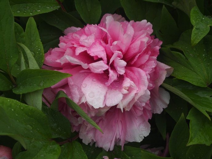 Peonies at Jianfu Temple