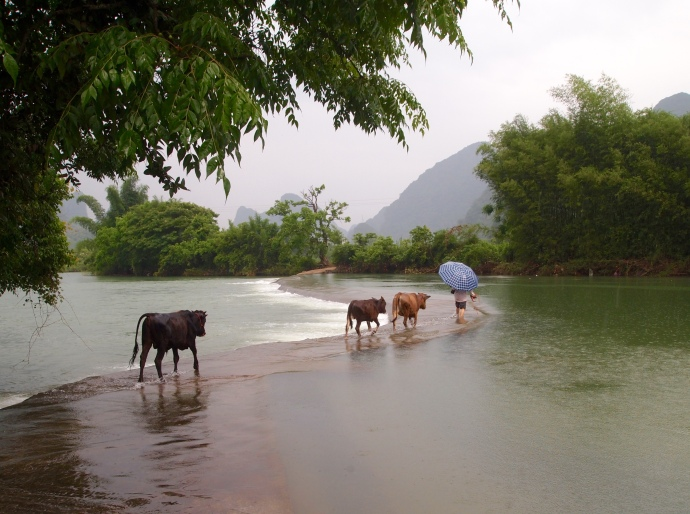 the farmer crosses the Yulong River with his cows
