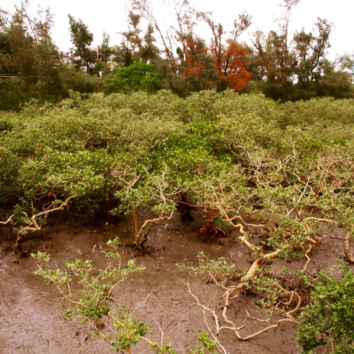 gnarly mangroves