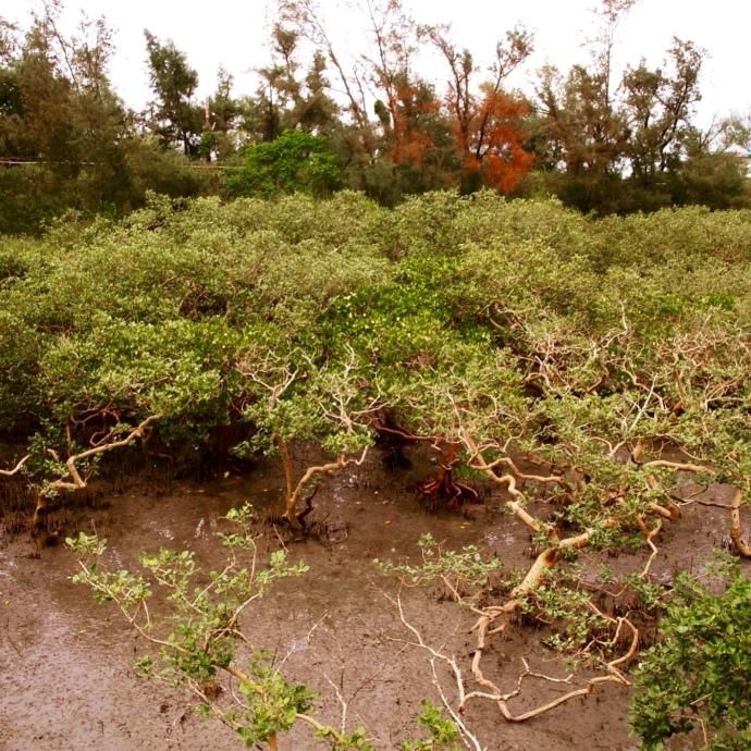 gnarly mangroves