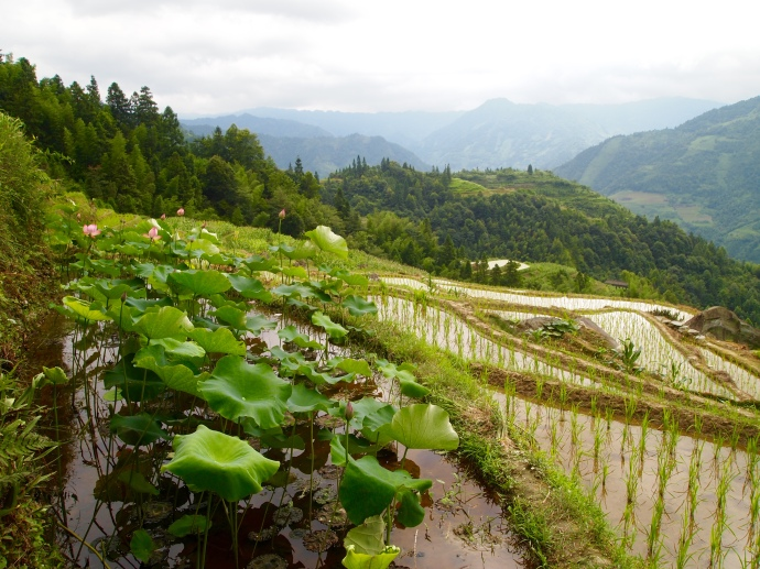 lotus plants and rice