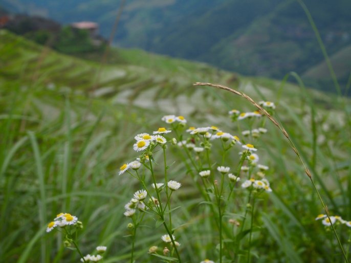 The Longji Rice Terraces