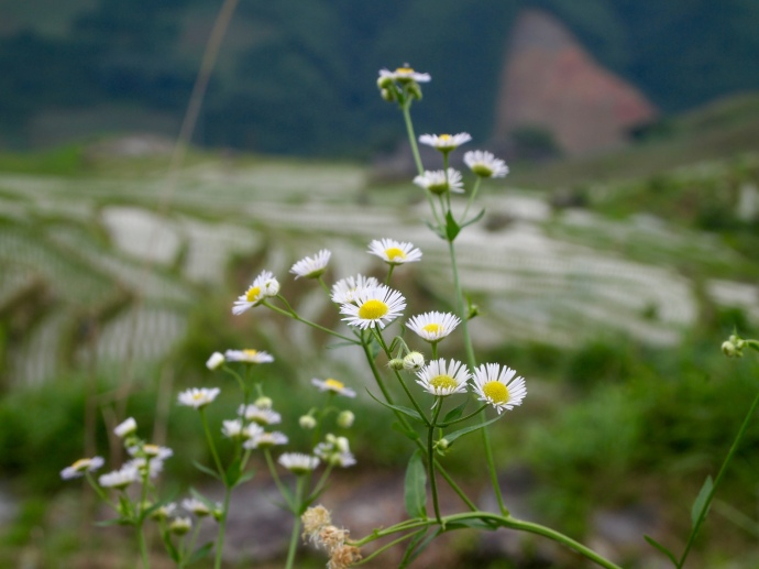daisies at Longji Rice Terraces