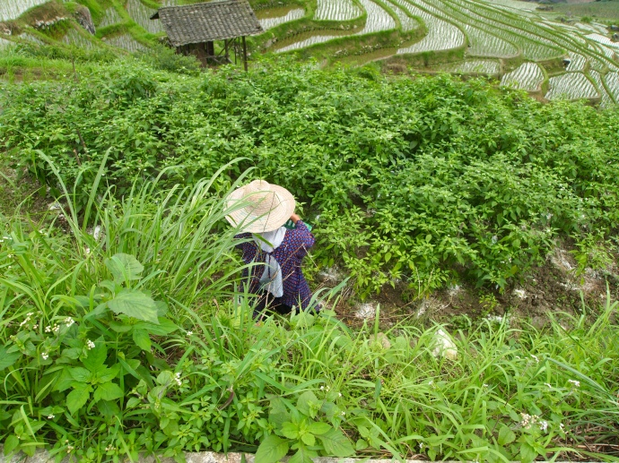 a Chinese farmer on the terraces