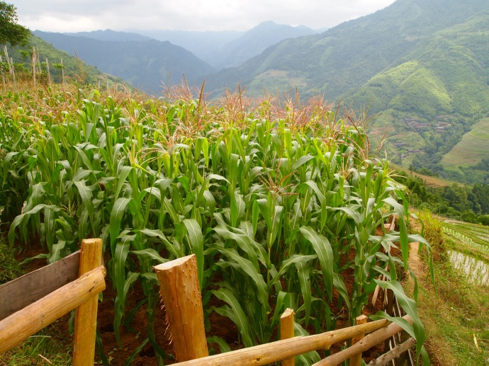 corn on the terraces