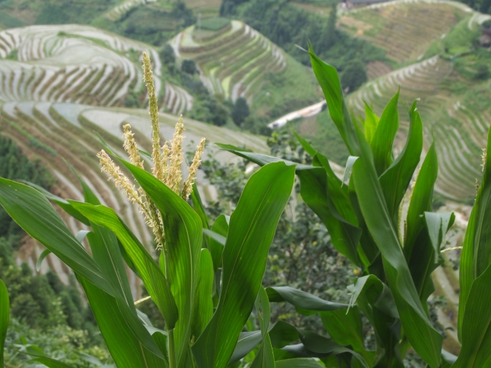 corn and rice terraces